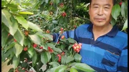使用耕田乐的樱桃