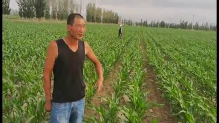 新疆使用耕田乐的玉米苗期表现
