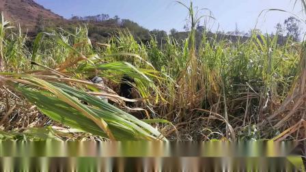 第55集:云南正宗古法巧家小碗红糖熬制流程,用锄头挖甘蔗