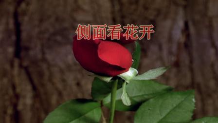 玫瑰花开全过程  爱情花如此美丽.mp4