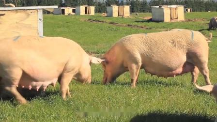 多利奇:小猪拉稀用什么药最好,小猪拉肚子吃什么药!