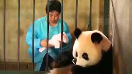 熊猫妈妈喝的还真是忘崽牛奶啊.mp4