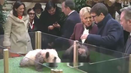 饭点到了,大熊猫亲自给饲养员开门,网友:该不会是人扮的吧