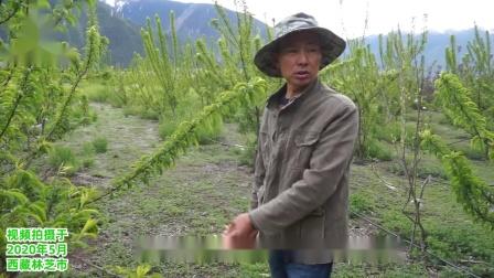 西藏林芝市桃树今年4月份流胶严重,用奥丰植物源杀菌剂套餐后,流胶止住了.mp4