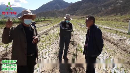 西藏山南市雪桃用奥丰生物农药后糖度至少20个点以上,甜度高糖分多.mp4