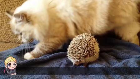 好奇的猫猫看到刺猬,一屁股坐上去,直接被吓飞