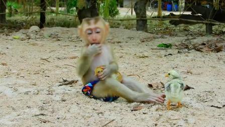 小猴子抱着小鸡不松手,实在太有爱了,网友:这是把小鸡当宠物了
