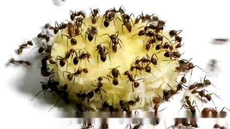 蚂蚁吃掉一整片香蕉需要多长时间?老外用镜头记录,结果大开眼界.mp4