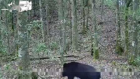 贵州发现消失近40年的动物,能像人一样直立行走,在中国却少见