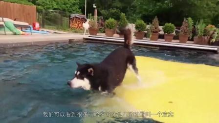 拆家王者哈士奇也有害怕的一天?扔泳池里画风突变,原来这么怂?