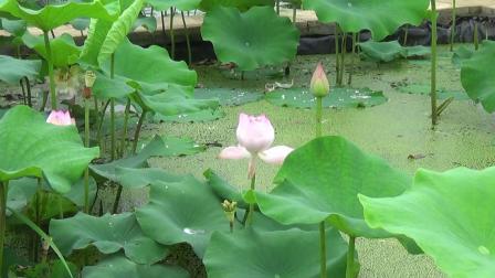 六月池绿荷满盈