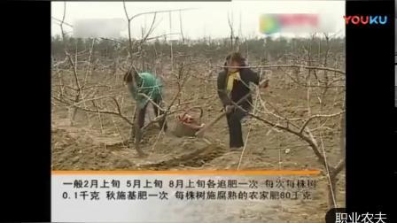 樱桃种植技术 幼树期土肥水管理.mp4
