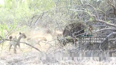 狮子见了它不敢惹,鬣狗见了赶紧躲,只要组团就是草原一霸