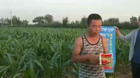 内蒙鄂尔多斯达拉特旗乔大哥玉米使用微生物有机菌肥营广宝拌种根系发达,苗粗苗壮,,抗旱能力强