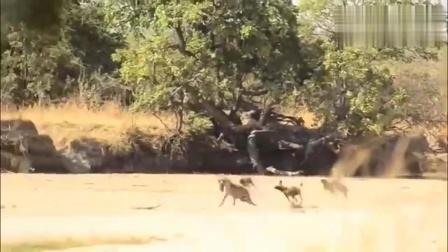 万恶不赦的野狗,把小鹿逼进深水,悲剧即将上演!
