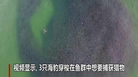 美国缅因州三只海豹围攻鲱鱼群 无人机拍下壮观景象