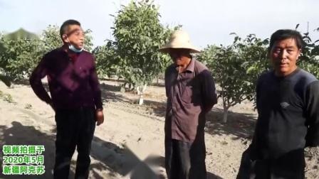 新疆阿克苏核桃恶劣环境下管理(施肥、浇水)要点及溃疡病防治措施原理讲解