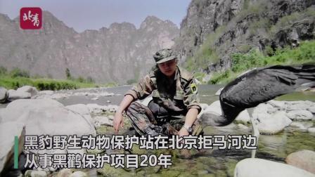 北京青年报 黑鹳日记