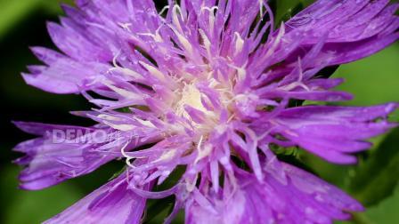 歌曲配乐 f56 4K高清画质唯美小清新雨后鲜花带雨花朵盛开绿叶雨滴露水活力大自然实拍视频 背景视频