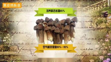 贵州望谟打易黑皮黑皮鸡枞菌开始上市啦!快来尝鲜啦