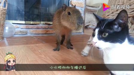 182_猫咪见到水豚立马往上蹭,水豚也不闪躲,亲和力直接感化猫咪。