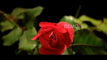 歌曲配乐 f258 唯美浪漫红色玫瑰花鲜花盛开春暖花开国庆中秋节春节视频舞台背景 背景视频