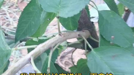 大樱桃苗反剪清干后的好处,烟台盛隆苗木