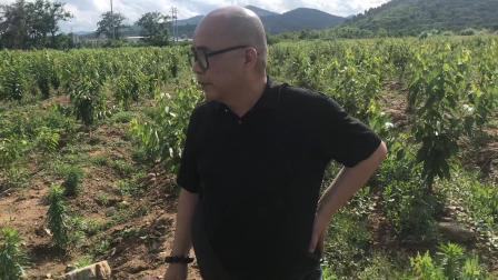 江苏客户来考察大樱桃种植,烟台盛隆苗木