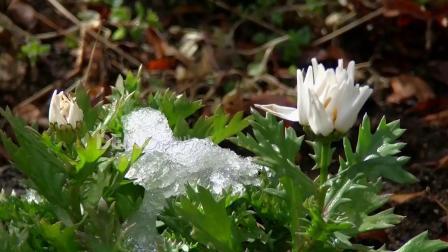 歌曲配乐 f390 2K画质唯美小清新冰雪融化春暖花开鲜花盛开大自然景色视频素材 背景视频