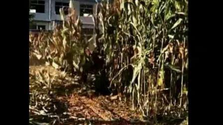 前置右倒式玉米秸秆割晒机玉米秸秆收割机资讯视频