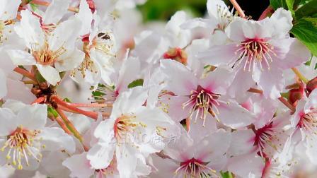 歌曲配乐 f760 唯美海棠话娇艳樱花梨花花海鲜花盛开花朵绽放春天生机勃勃鸟语花香实拍视频 背景视频