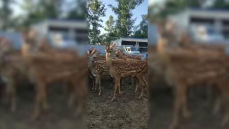 鹿鞭的作用有哪些,鹿鞭粉的功效与作用及食用方法