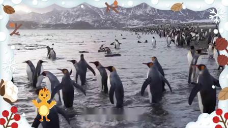 萌鸡小队趣自然第15集企鹅为什么不怕冷