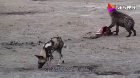 野狗逮住羚羊,结果却被鬣狗抢走,野狗叫来同伴掏肛鬣狗!