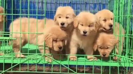 小金毛犬图片金毛犬图片_纯种金毛犬价格