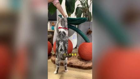 王泡芙也是实现猫生车厘子自由的小猫咪啦