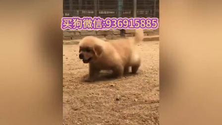 不纯种的纯种金毛犬狗的图片纯种金毛犬狗茶杯狗多少钱一只