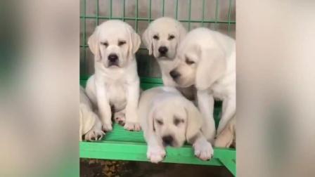 不纯种的拉布拉多犬狗的图片拉布拉多犬狗茶杯狗多少钱一只