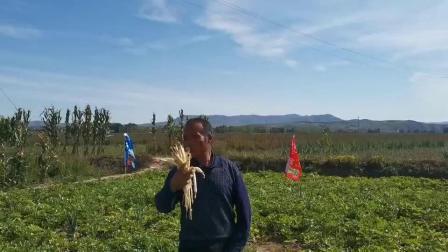 内蒙赤峰喀喇沁旗沙参使用微生物有机菌肥营广宝拌种加喷施品质好 抗病能力强 增产幅度高