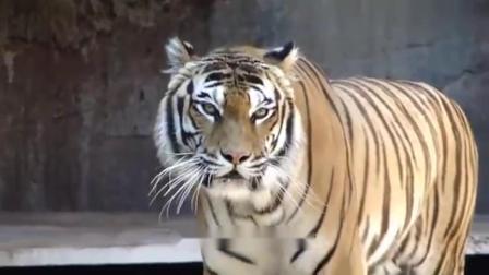 600斤狮子遇到500斤老虎,大战一触即发?镜头拍下整个过程!