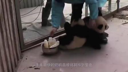 大熊猫吃竹子吃得正香,突然被一根竹子砸中,接下来请憋住不要笑