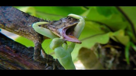螳螂猎食反被蝈蝈吃掉,蜥蜴猎食螳螂反被螳螂吃的只剩一堆骨头