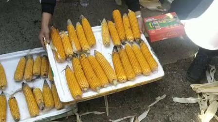 黑龙江省孙吴县玉米实际测产使用微生物有机菌肥营广宝增产赠收效果好