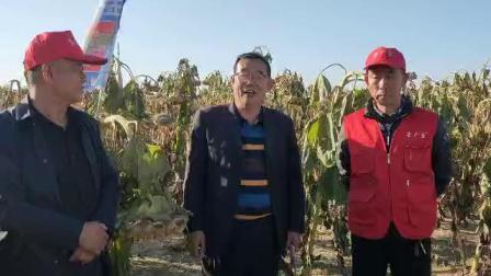 内蒙鄂尔多斯达拉特旗郭大哥家葵花使用微生物有机菌肥营广宝盘子大 客户非常满意