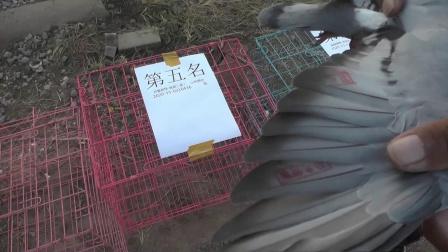 青岛金谷400公里比赛前十名归巢验鸽