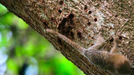 微观的动物世界之三-侏儒狨猴