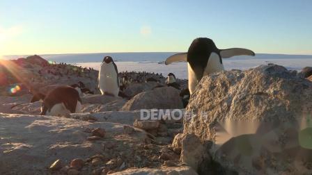 歌曲配乐 a883 冰川冰天雪地南极洲可爱企鹅实拍动态视频素材绿色环保公益保护环境生态视频 大屏素材
