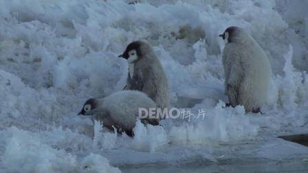 歌曲配乐 a882 冰川冰天雪地南极洲可爱漂亮小企鹅实拍动态视频素材绿色环保公益保护环境生态视频 大屏素材