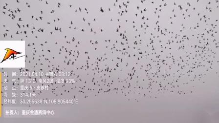 重庆龙共尊(金通春棚)赛鸽中心4月10日家飞视频集锦