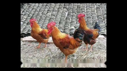 养鸡吃什么长的快养土鸡给鸡吃什么能使鸡长的快鸡怎么养才长得快鸡吃什么饲料长的快鸡吃什么长的最快?怎么喂鸡长得快养鸡吃什么长得比较快?